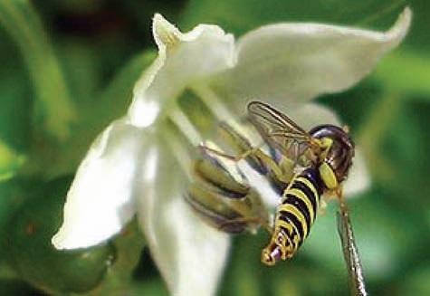 Biber çiçeğinin böcekler yardımıyla tozlanması