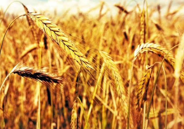 Buğday Tanelerinin İrisinde Bereket Yeni Şekerler