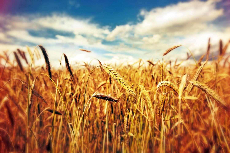 Buğday Tanelerinin İrisinde Bereket Yeni Şekerler Dulsin ve Sukrol
