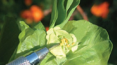 Erselik çiçekli bitkilerde, öncelikle henüz açmamış, ama ertesi gün açacak olgunluğa gelmiş çiçek tomurcuklarının içinden erkek organların uzaklaştırılması gerekir. Bu işlemi yapmazsak çiçek kendine ait erkek organlardan gelen polenlerle tozlanıp melezleme yapmamıza engel olur.