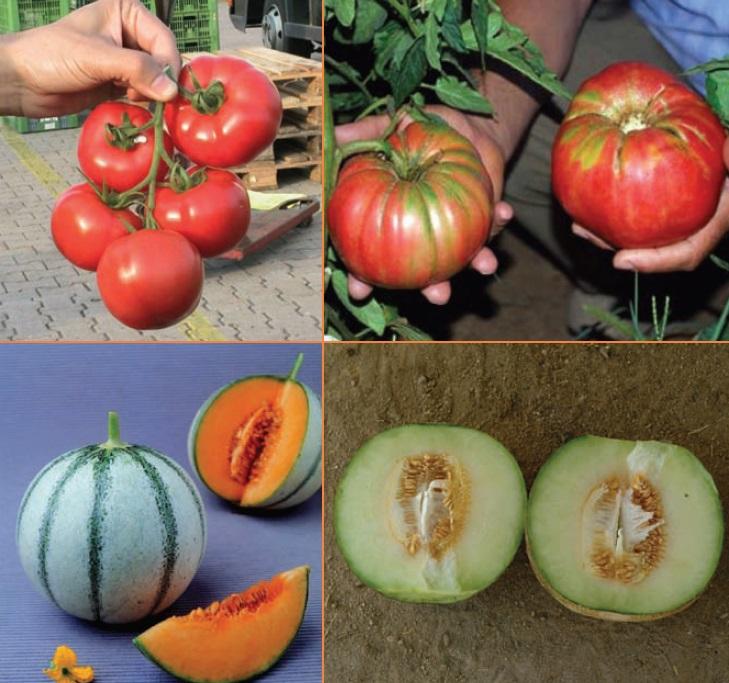 Üstte solda hibrit domates salkımı, sağda ise lezzeti ve kokusu daha üstün olmasına karşılık şekil ve diğer kalite özellikleri bakımından geri planda kalan yöresel bir domates.