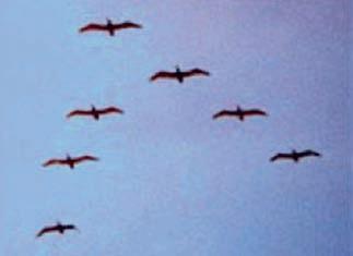 Ters V harfi şeklinde uçan kuşlar. Bu şekilde uçan kuşların öndeki uçan kuşun hava boşluğunda uçtuğu ve bu sebepten dolayı daha az yorulduğu ve daha az enerji hacadığı bilinmektedir. Uçakların da benzer şekilde uçurulması muazzam yakıt tasarufu yapılacağı ve hava trafiğinin rahatlatılacağı düşünülmektedir.