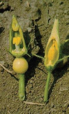 Bir gün sonra açacak olgunluğa gelmiş, kese ile kapatılacak durumdaki dişi ve erkek kabak çiçekleri (eşey organlarının görülebilmesi için taç yapraklar uzaklaştırılmıştır]