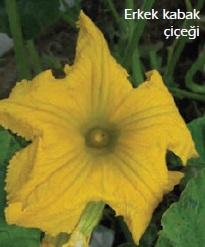 erkek kabak çiçeği