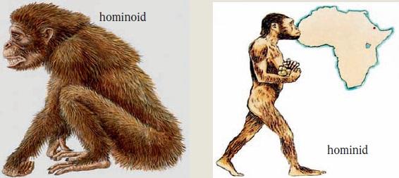 hominoid