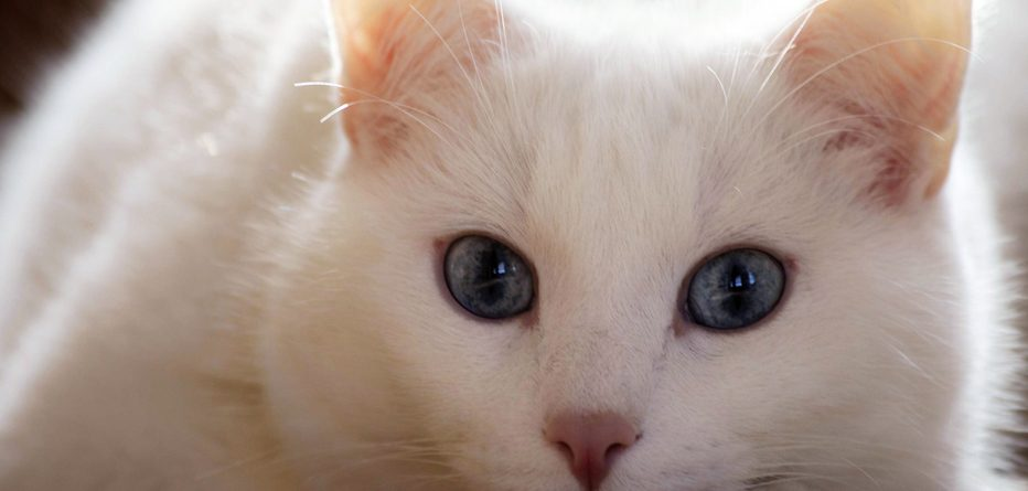 Kedi AIDS'i insana geçer mi