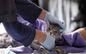 Hong Kong'daki evcil kedide koronavirüs bulundu