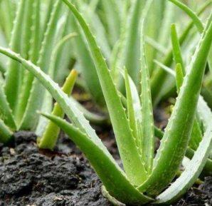Afrika´nın Şifalı Bitkisi Aloe Vera