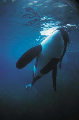 orca balina 1