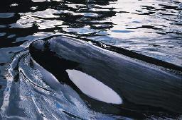 orca balina 2