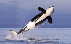 orca balinalar