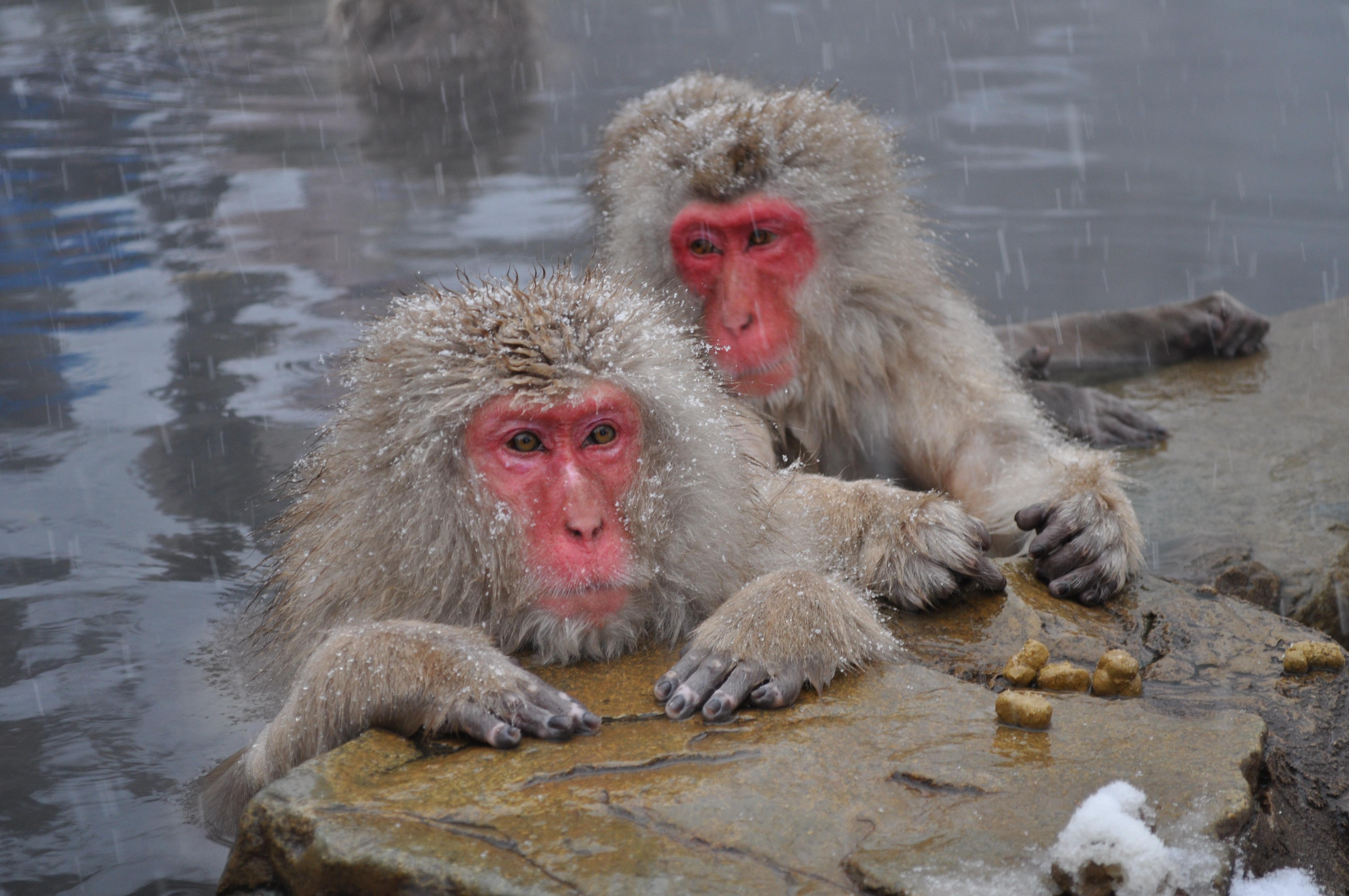 Örneğin Japon makaklarının dişileri, çiftleşmek için çoğunlukla dişileri tercih ederler ve doğal olarak bunu başaramazlar. Dolayısıyla, terchileri her ne kadar dişilerden yana olsa da, erkeklerle de ürerler; kısaca biseksüeldirler (iki cinsiyete de ilgi duyan hayvanlar).